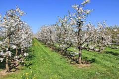 Kirschblüte in Oberschwaben