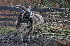 20160303 0258VRAw [D~BI] Jakobschaf (Ovis orientalis f. aries, Jakob Sheep, Mouton de Jakob), Bielefeld