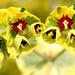 bandeau groupe Euphorbiaceae