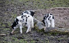 20160303 0260VRAw [D~BI] Jakobschaf (Ovis orientalis f. aries, Jakob Sheep, Mouton de Jakob), Bielefeld