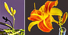 Collage Taglilien (Hemerocallis) ©UdoSm