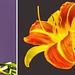 Collage Taglilien (Hemerocallis) ©UdoSm