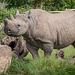 Rhino (4)