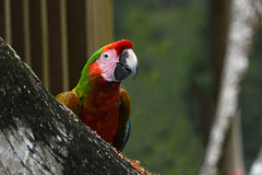 Guatemala, Parrot in the Chocón Machacas Protected Biotope