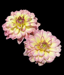 """Dahlia """"Miss Molly"""" by My Lovely Wife"""