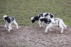 20160303 0261VRAw [D~BI] Jakobschaf (Ovis orientalis f. aries, Jakob Sheep, Mouton de Jakob), Bielefeld