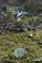 Eastern Fairy Slipper