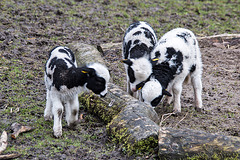 20160303 0262VRAw [D~BI] Jakobschaf (Ovis orientalis f. aries, Jakob Sheep, Mouton de Jakob), Bielefeld