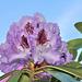 Rhododendronblüte -