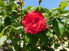 Rose en son écrin d'épines