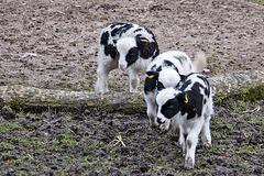 20160303 0263VRAw [D~BI] Jakobschaf (Ovis orientalis f. aries, Jakob Sheep, Mouton de Jakob), Bielefeld