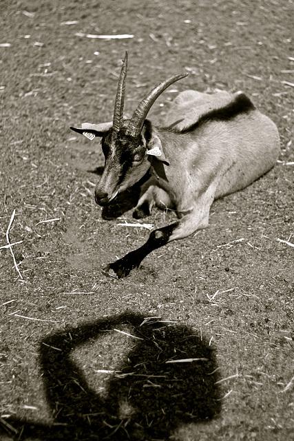 Avec une chèvre