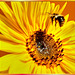 Bumblebees happy landing... ©UdoSm
