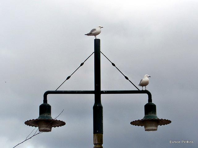 Perching Gulls