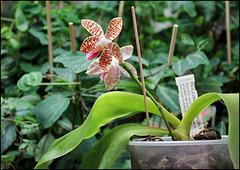 Phalaenopsis sumatrana South Thailand (1)
