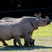 Rhino pair (1)
