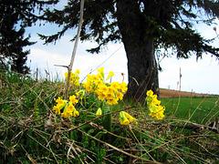 Jaglika (Primula officinalis)