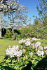 Rhododendron und Kirschblüte