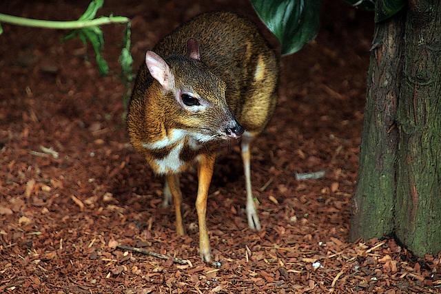 Un ruminant méconnu et pas plus grand qu'un hamster , le cerf-souris .
