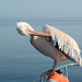 Namibia, Walvis Bay, Pelican Brushing Feathers