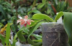Phalaenopsis sumatrana South Thailand (4)