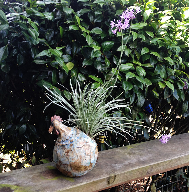 Cate's chicken in flowering glory