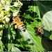 Honigbiene. ©UdoSm