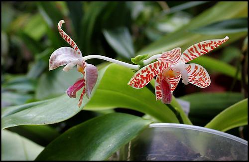 Phalaenopsis sumatrana ( South Thailand )
