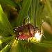 Sloe Shield Bug. Dolycorus baccarum