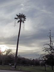 Oldest Palm Tree In Los Angeles (2680)