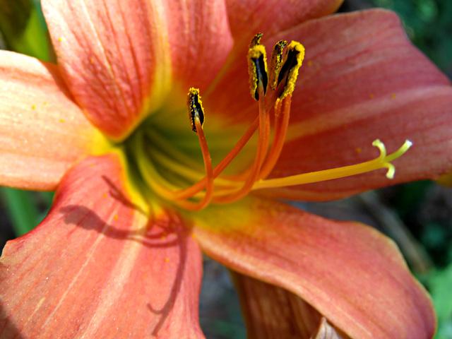 Ditch Lily - Dogwood Patch