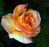 rosa sotto la pioggia