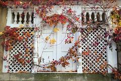 Herbstfarben  vom Wilden Wein - und vom echtem Wein (siehe PiP)