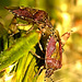 Sloe Shield Bugs