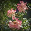 Les trois roses..