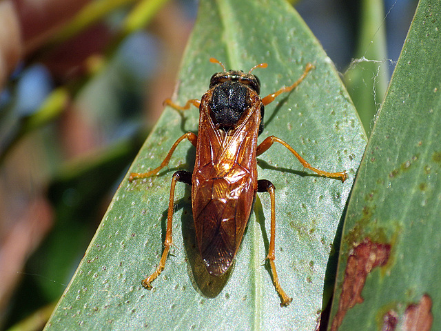 Pergagrapta species
