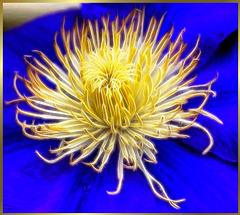 Zentrum einer Clematisblüte. Center of a clematis flower. ©UdoSm