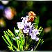 Rosmarin mit Biene... ©UdoSm