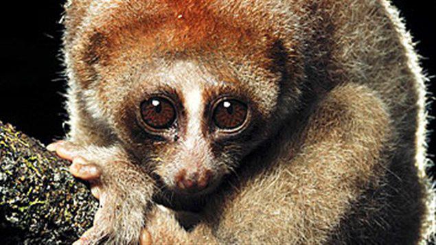 Nouvelle espèce de singes découverte en Asie : le Loris