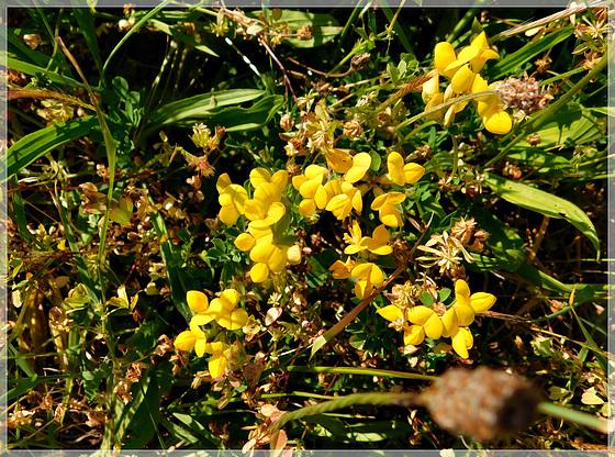 A la plage : Lotus corniculatus L ou Lotier corniculé ?
