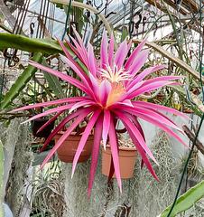 Blüte von Hylocereus-Hybride 'Connie Mayer'