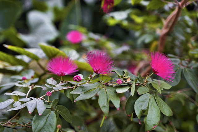 Powder-puff Flowers – Brooklyn Botanic Garden, New York, New York