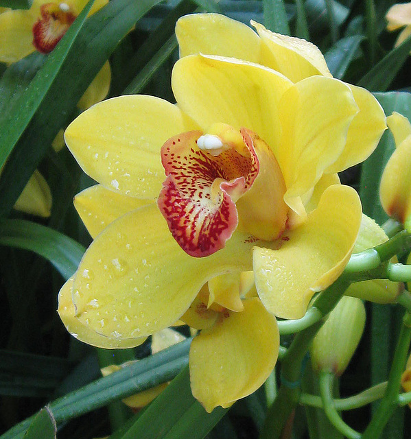 Yellow Orchid by My Angel Joni (Explored)