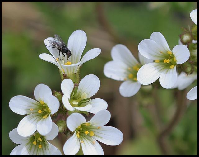 Saxifraga granulata (2)