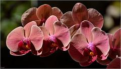 Phalaenopsis ...