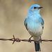 Mountain Bluebird male / Sialia currucoides