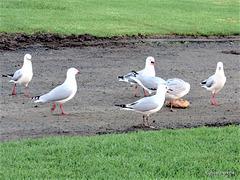 Seagulls at Raglan Camping Grounds.