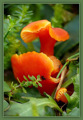 Vermilion waxcap ~ Gewoon vuurzwammetje (Hygrocybe miniata)...