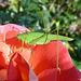 Grüne Schrecke, rote Rose und Oktobersonne