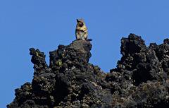 Streifenhörnchen auf Lava - Lava Butte, Oregon, USA (PiP)
